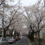 お花見 常盤平(松戸)→ さくら広場(幕張)
