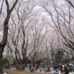 お花見 背の高い桜が特徴!北習志野近隣公園