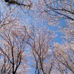 お花見 北習志野近隣公園