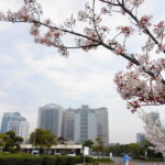幕張新都心と桜 千葉運手免許センターの桜 免許更新