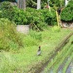 自転車 野生の雉(キジ)と接近