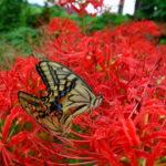 曼珠沙華とアゲハ蝶 (自転車日記)