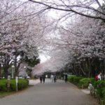 お花見 青葉の森(千葉市)