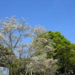 千葉県立 青葉の森公園 ハナミズキと八重桜