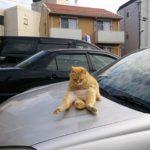 ねこ 駐車場の車のボンネット上に堂々と!