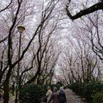 お花見 空を眺めながらのお花見 背の高い桜北習志野近隣公園